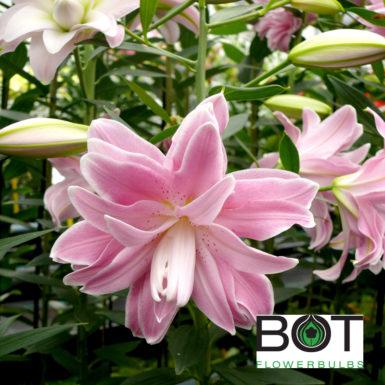 Lotus Joy