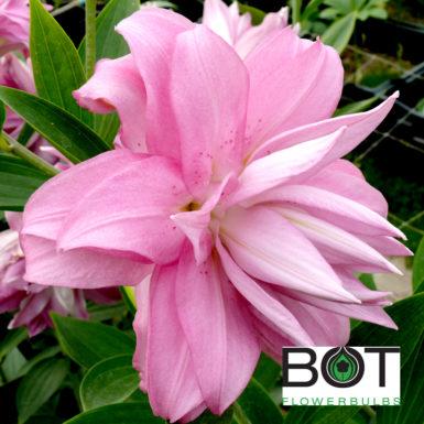 Lotus Spring
