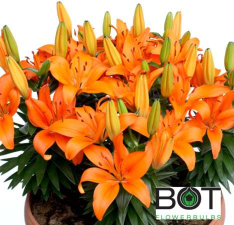 Orange Matrix