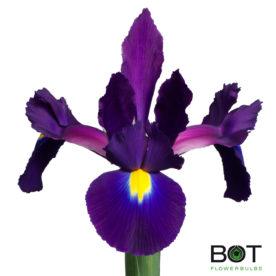 Iris Assortiment