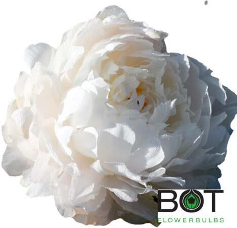 White Sarah Bernhardt