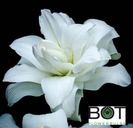 Lotus Pure