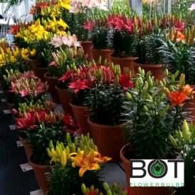 Pot Lilies Growersguide