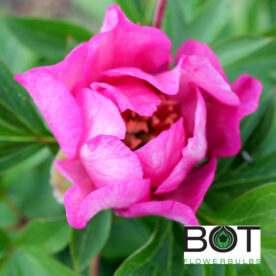 Sonoma Rosy Future
